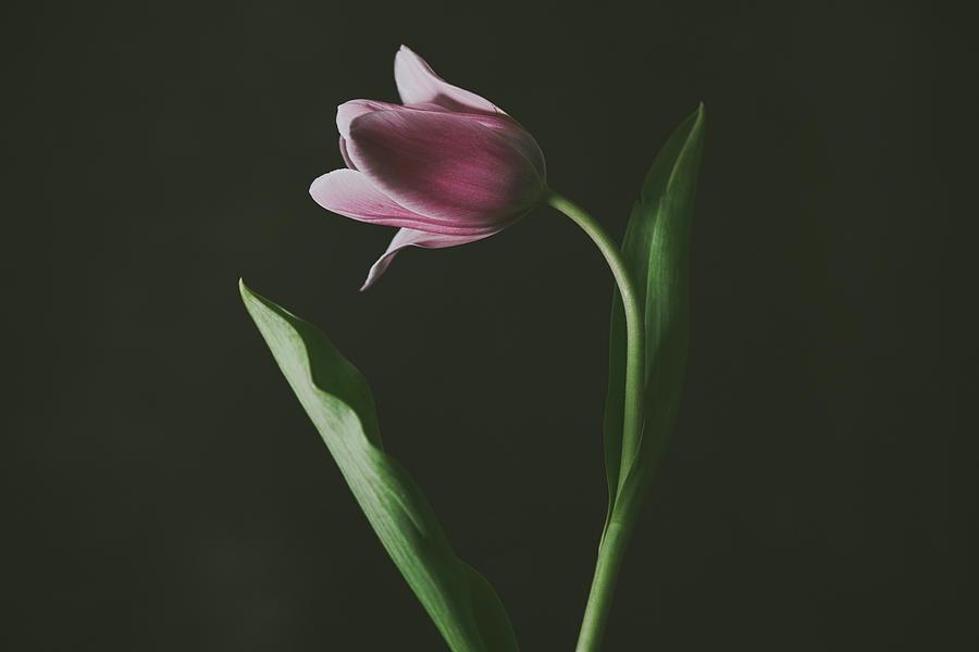 Tulip #0152 by Desmond Manny