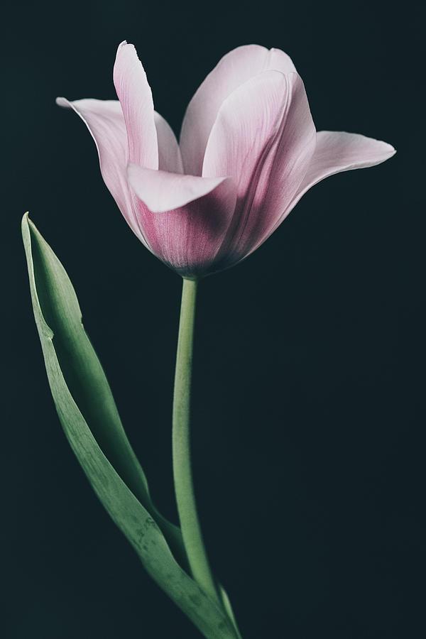 Tulip #0153 by Desmond Manny