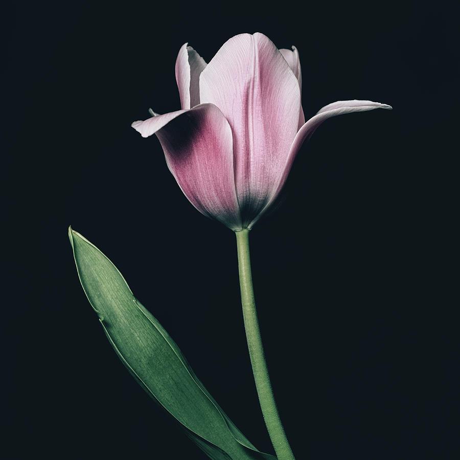 Tulip #0154 by Desmond Manny