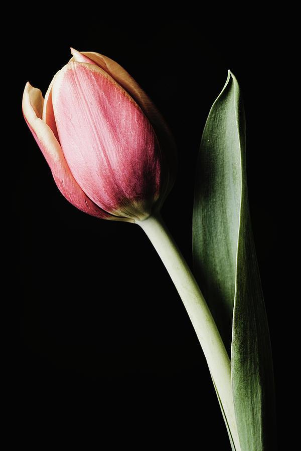 Tulip #171 by Desmond Manny