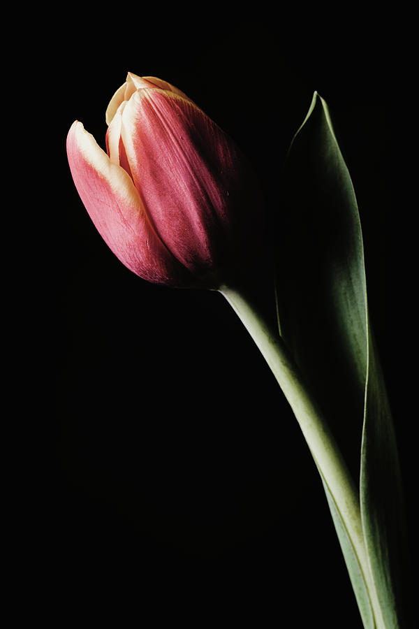 Tulip #172 by Desmond Manny