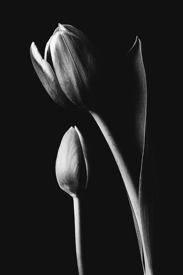 Tulip #173 by Desmond Manny