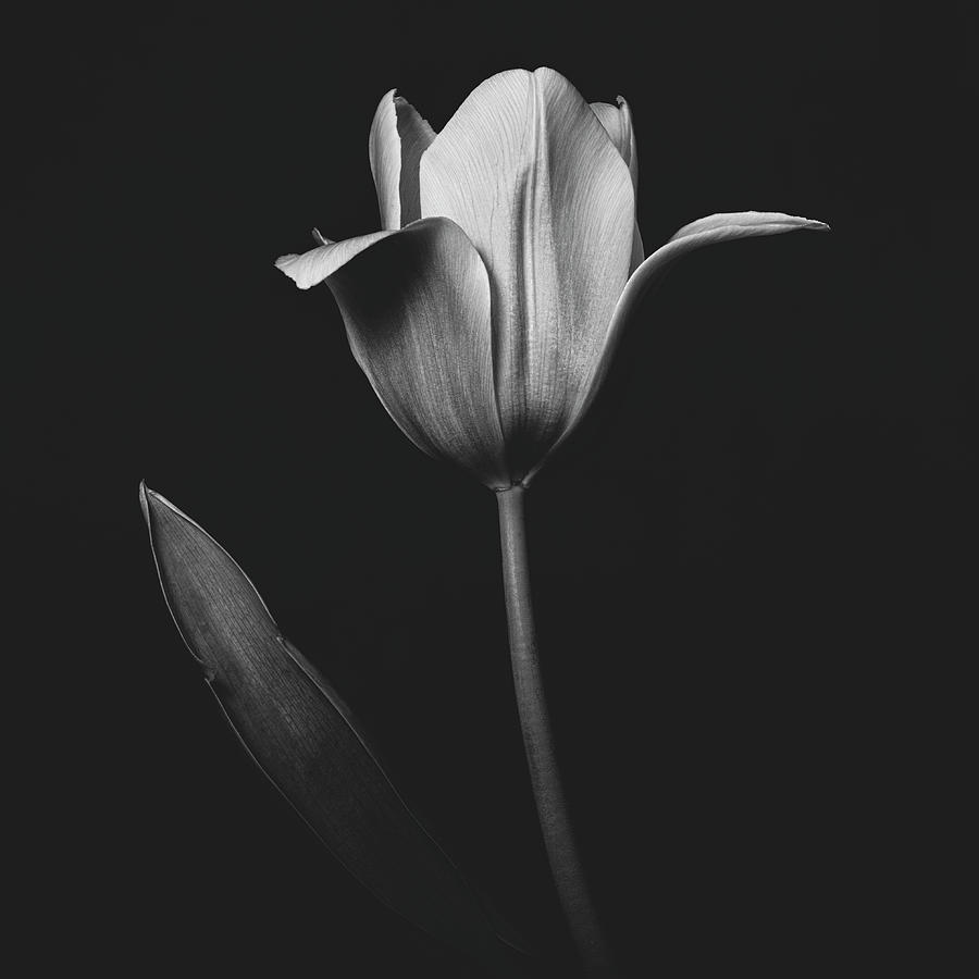 Tulip 0155 by Desmond Manny
