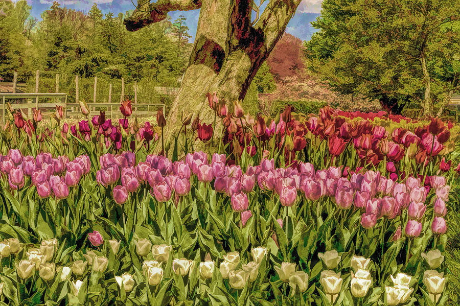 Tulip Bed At Longwood Gardens In Pa Photograph