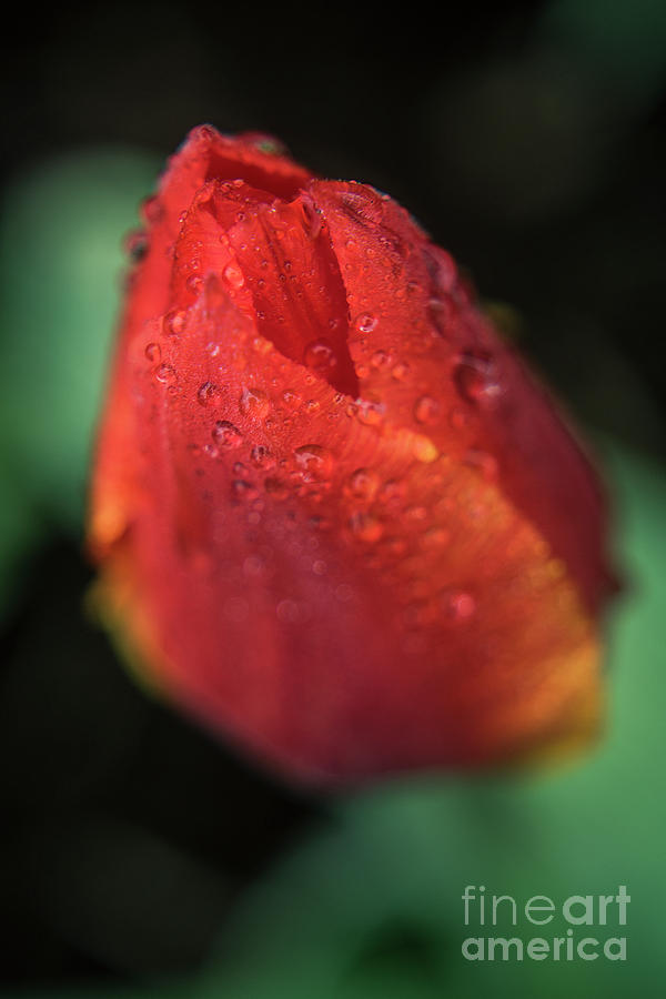 Tulip Bulb raindrops-1683 by Steve Somerville