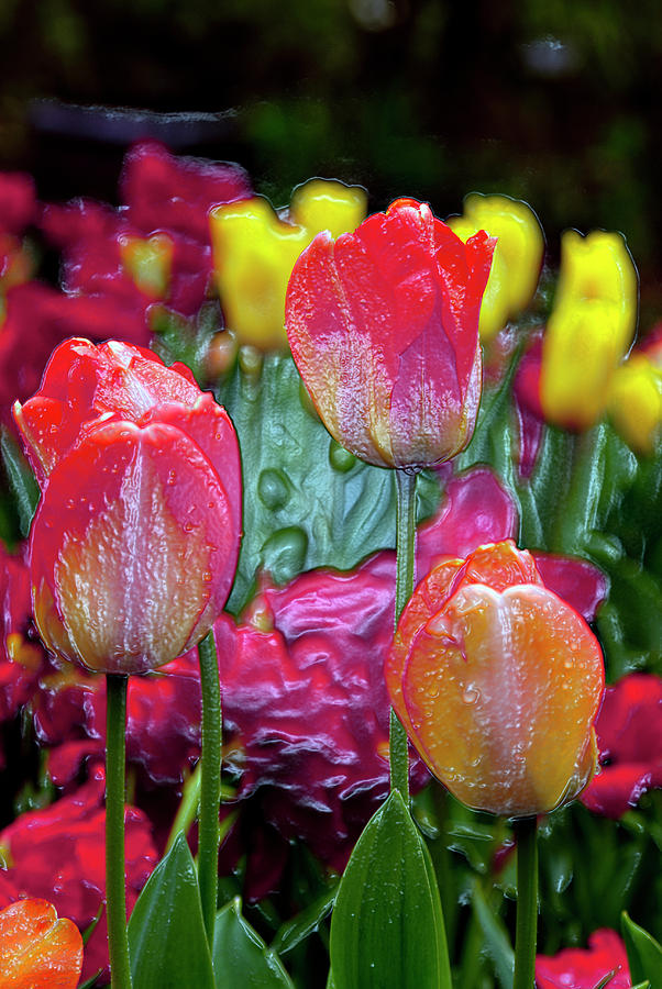 Tulips Digital Art - Tulip Candy by Don  Wright