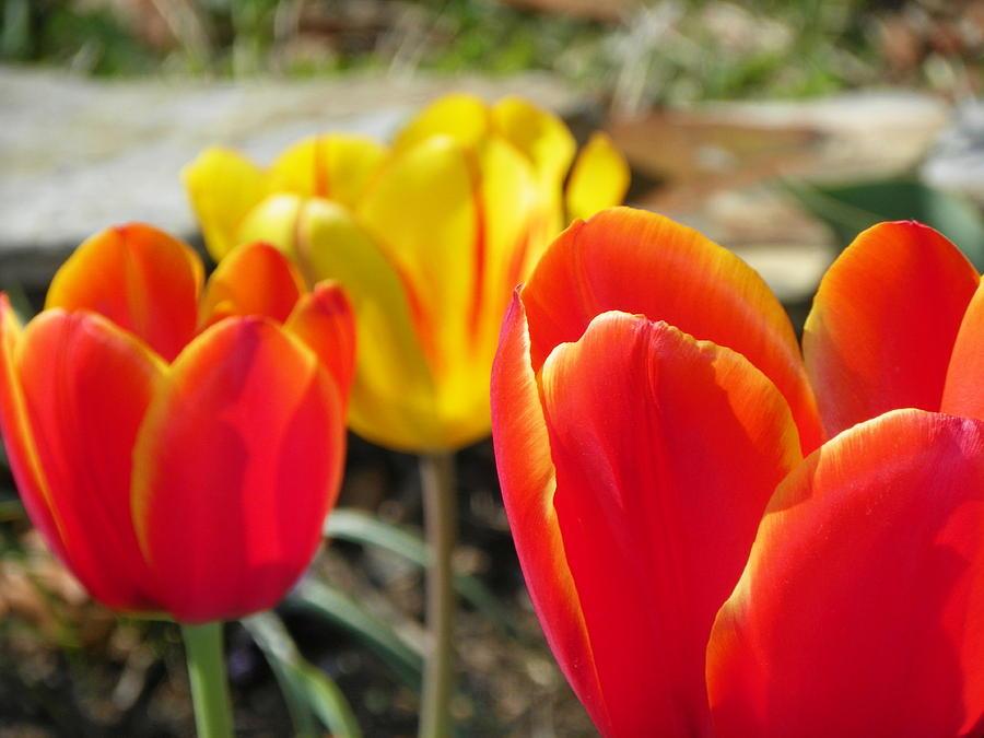 Flowers Photograph - Tulip Celebration by Karen Wiles
