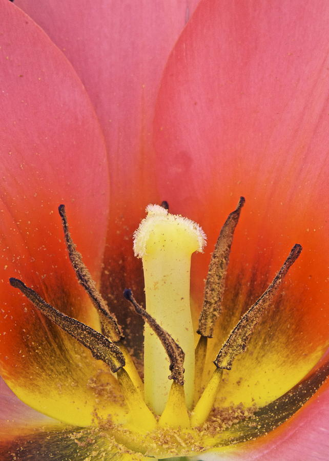 Tulip Photograph - Tulip Center by Michael Peychich