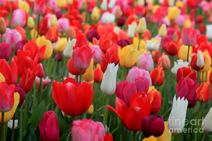 Tulips Photograph - Tulip Color Mix by Peter Simmons