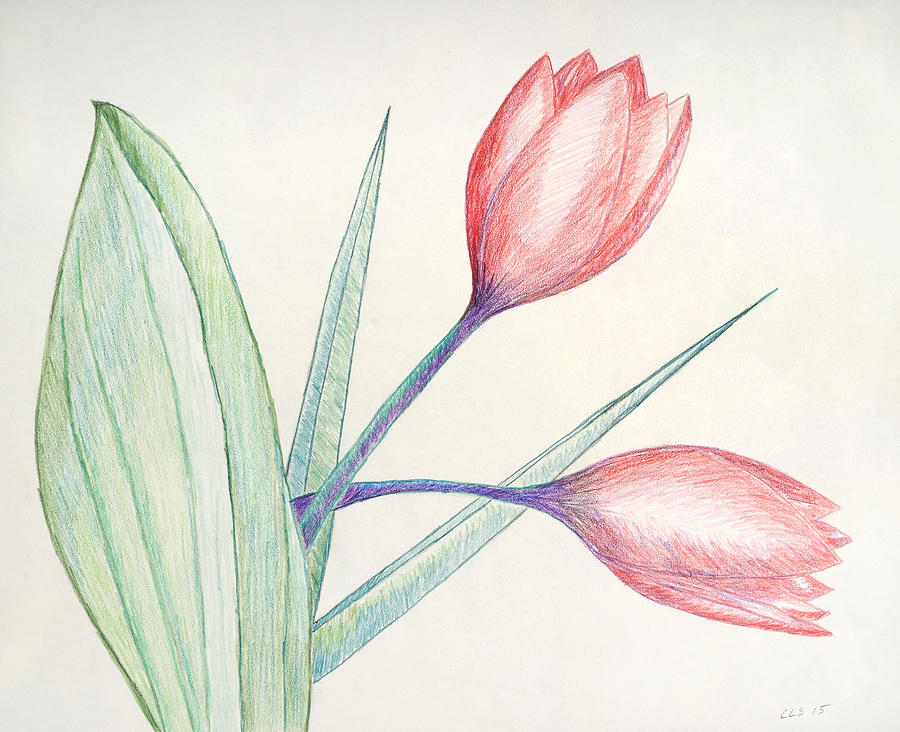 tulip colored pencil sketch painting by cynthia schoeppel