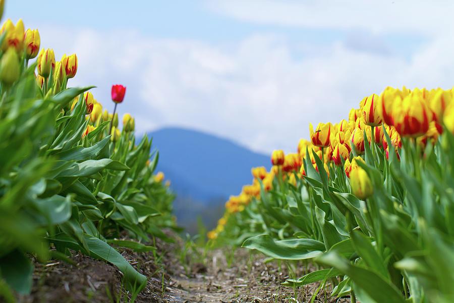 Tulip Photograph - Tulip Farm by Naman Imagery