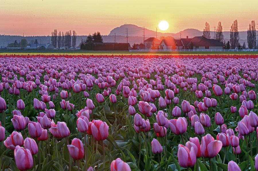 Horizontal Photograph - Tulip Field At Sunset by Davidnguyenphotos