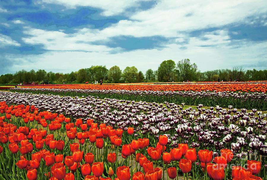 Tulip Field Landscape Beauty Photograph