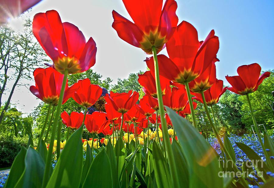 Tulip Field  On Island Mainau Photograph
