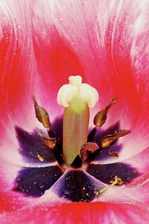 Tulip Photograph - Tulip Flame by Michael Peychich