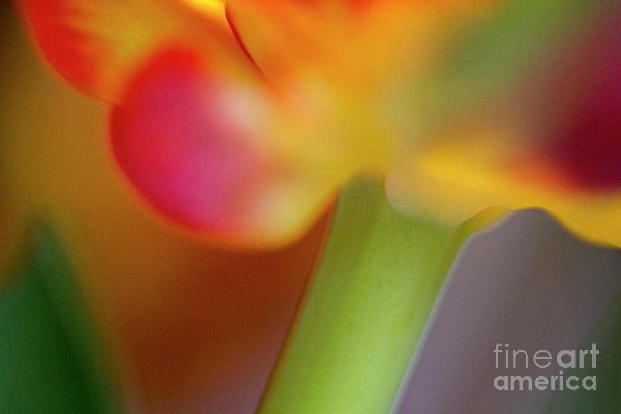 Tulip Flower Abstract Photograph