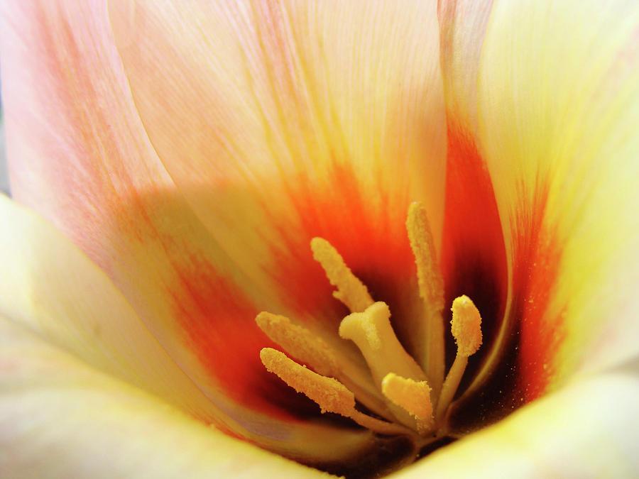Tulip Flower Artwork 31  Tulips Flowers Macro Spring Floral Art Prints Photograph