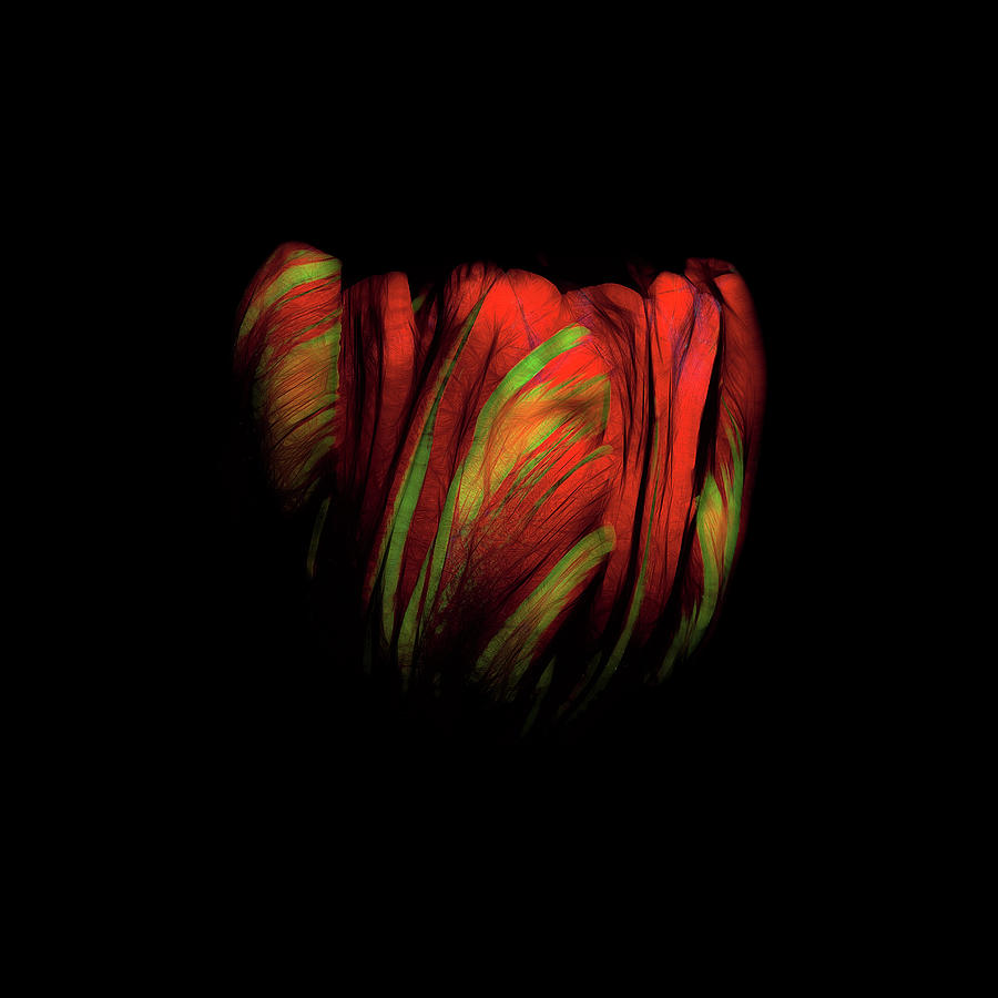 Tulip Photograph - Tulip Flower On Black Background Abstract by David Gn