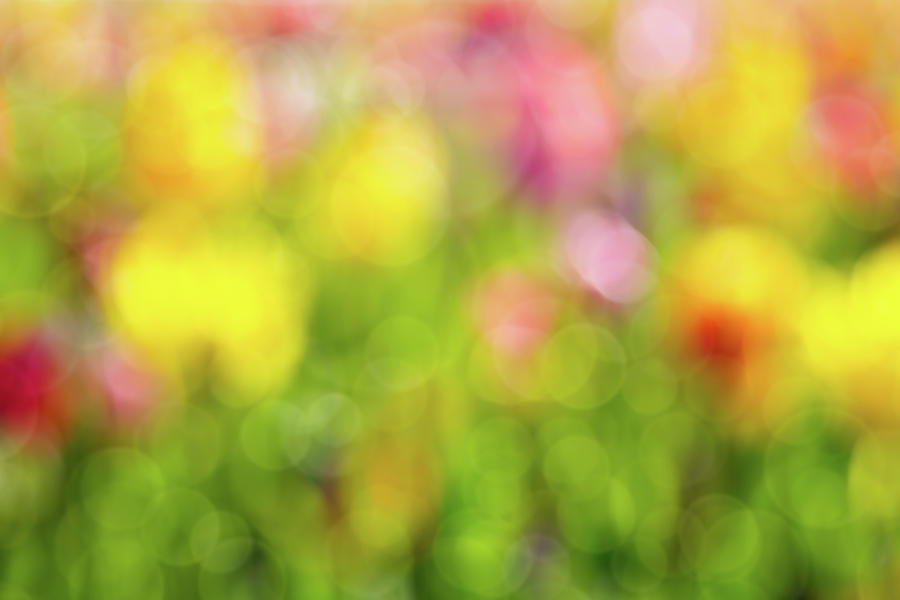 Tulip Photograph - Tulip Flowers Field Blurred Defocused Background by David Gn
