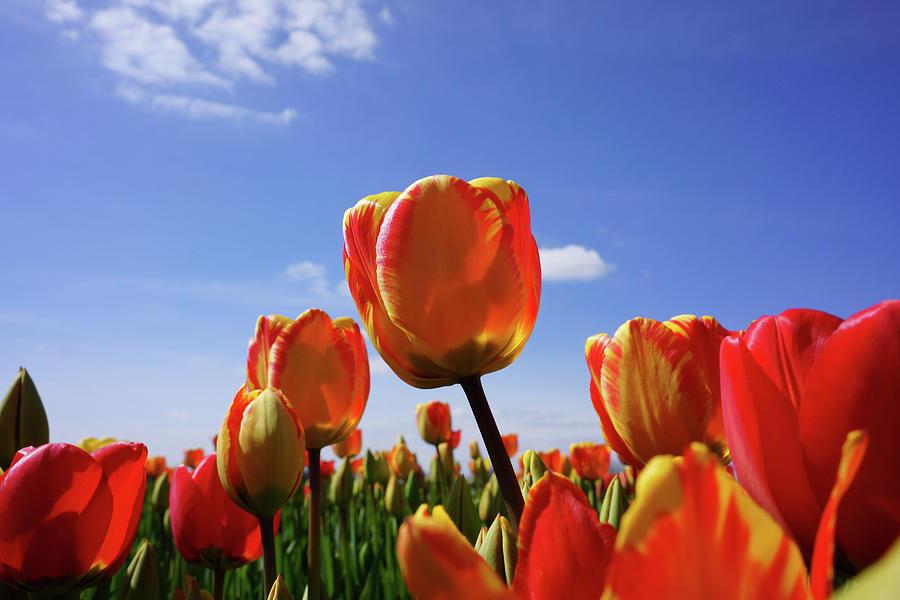 Tulip Flowers Garden Blue Sky Art Prints Photograph