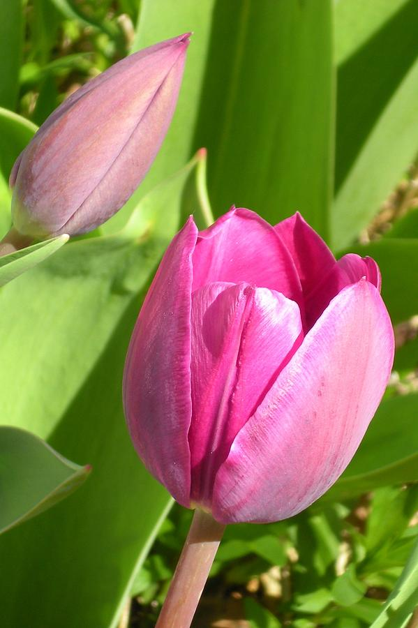 Tulips Photograph - Tulip Friends by Michelle Willer