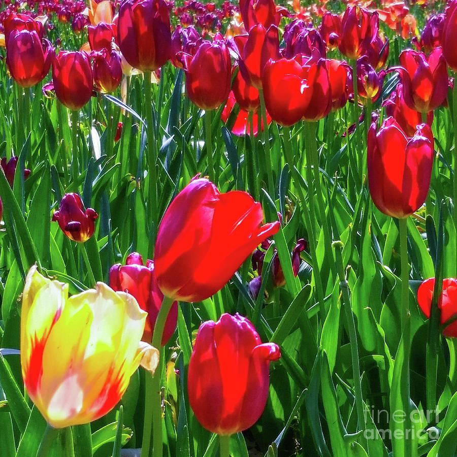 Tulips Photograph - Tulip Garden In Bloom by D Davila