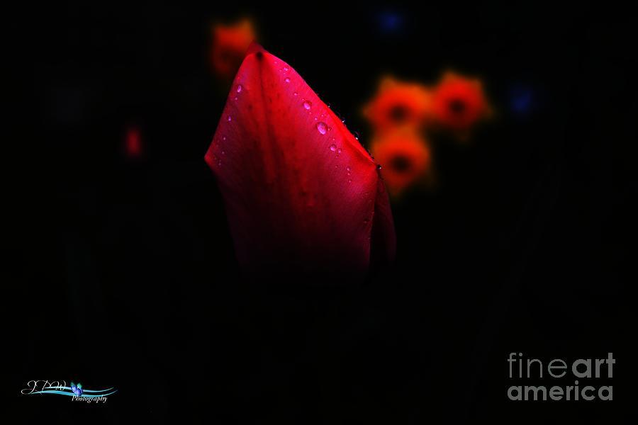 Tulip Glow Photograph
