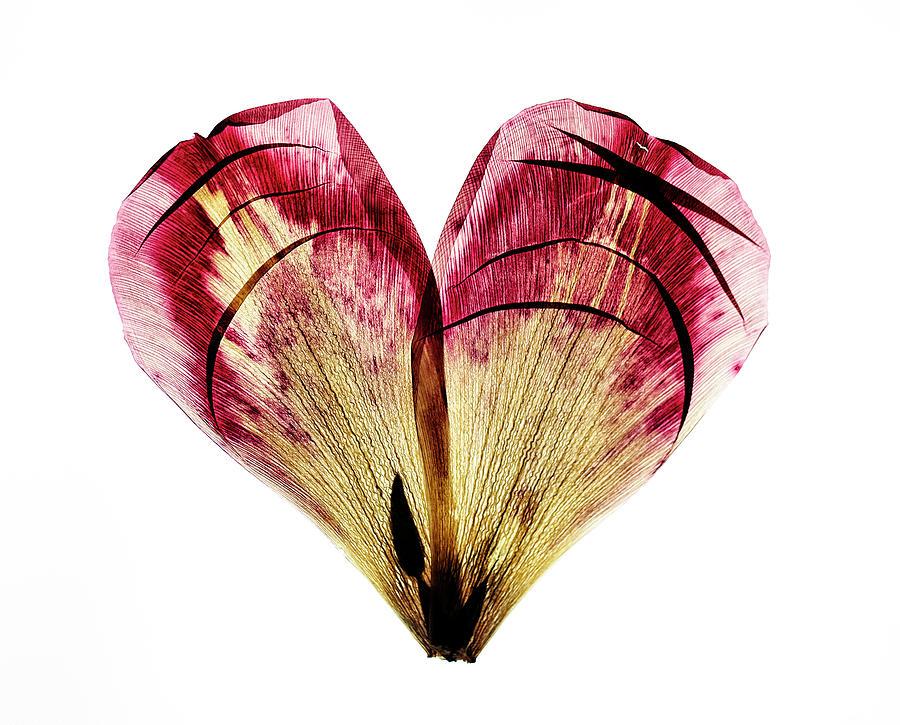 Heart Photograph - Tulip Heart by Nailia Schwarz