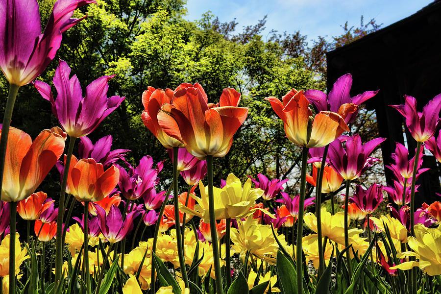 Tulip Heaven Photograph