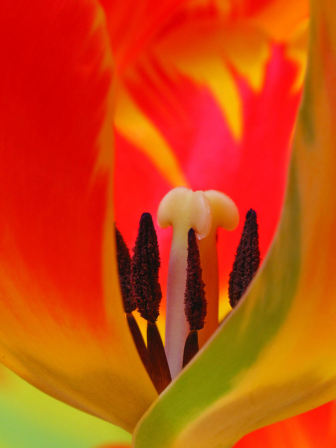 Tulip Photograph - Tulip Intimate by Juergen Roth