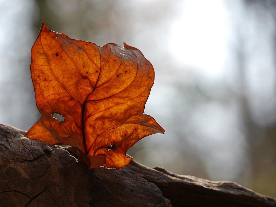 Tulip Leaf  by Jane Ford