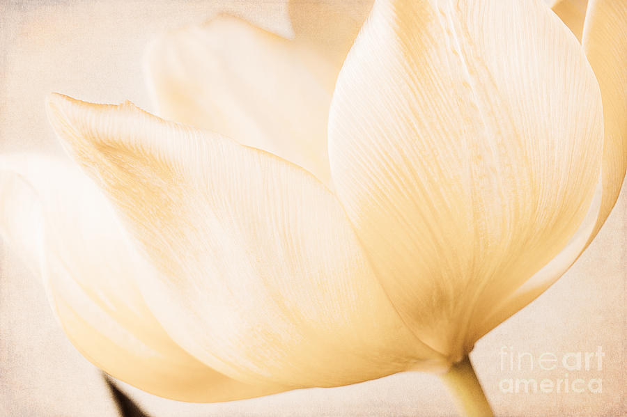 Floral Photograph - Tulip by Lisa McStamp