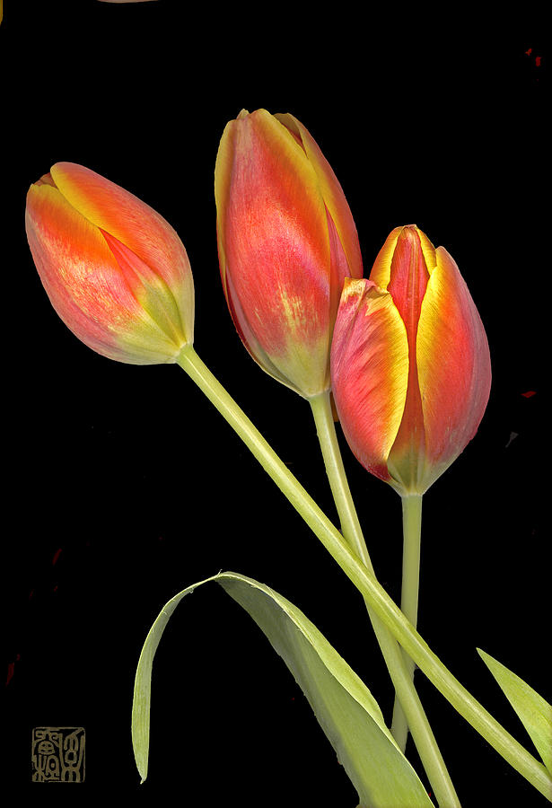 Flower Photograph - Tulip by Lloyd Liebes