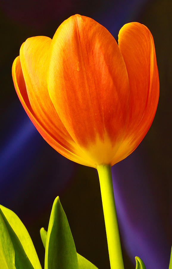 Tulip by MARLO HORNE