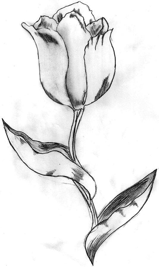 Flowers Drawing - Tulip by Nicole Brown