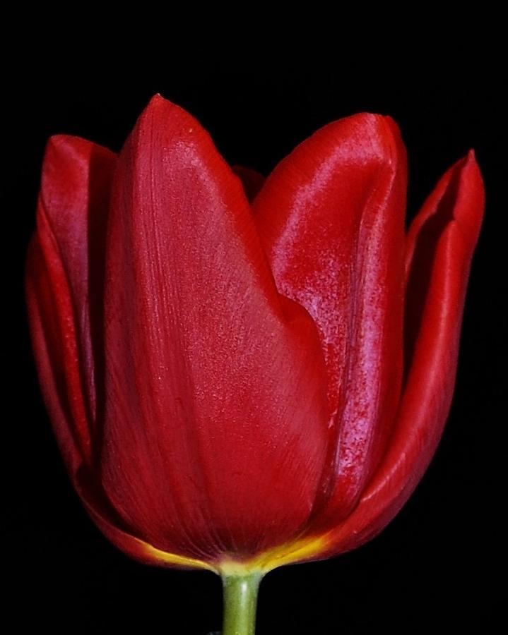 Red Photograph - Tulip On Black by Sally Falkenhagen