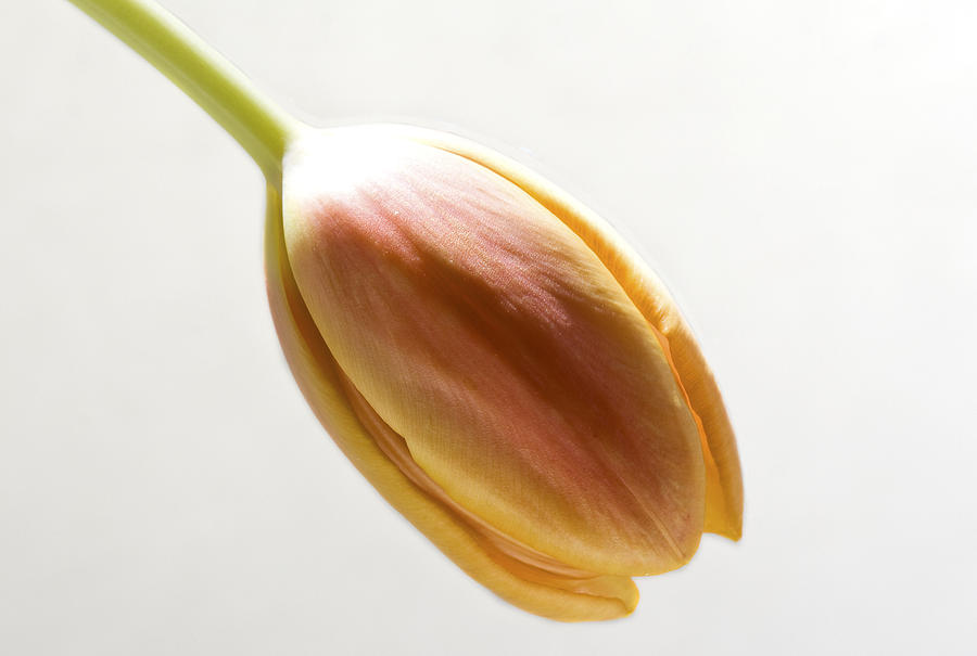 Orange Photograph - Tulip On White by Cheryl Day