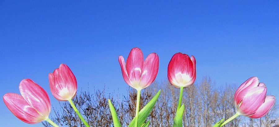 Tulips Photograph - Tulip Panorama by Will Borden