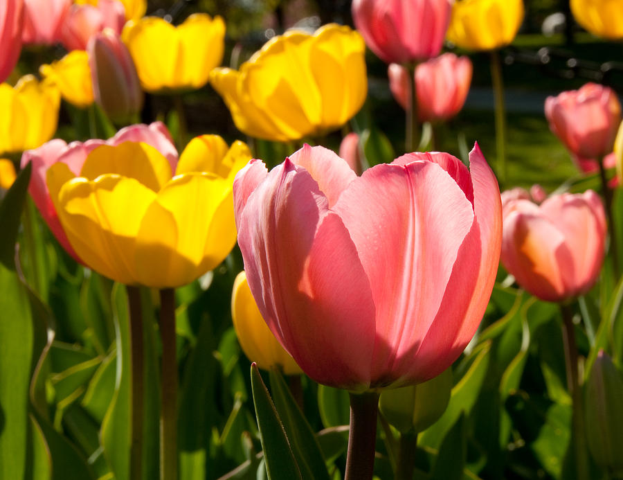 Photograph Photograph - Tulip Pastels by Charlet Simmelink