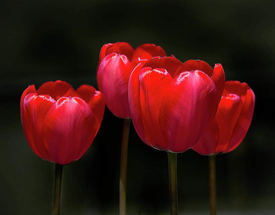 Tulip Quartet by Michael Friedman
