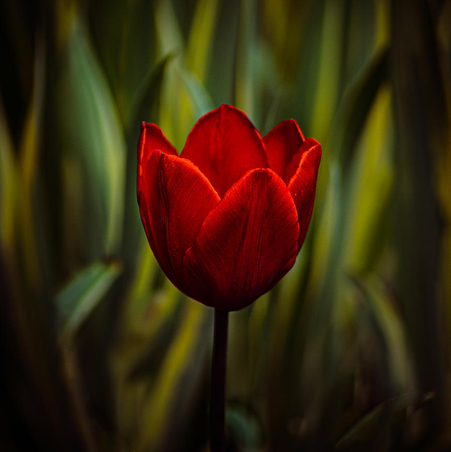Tulip Photograph - Tulip by Rod Sterling