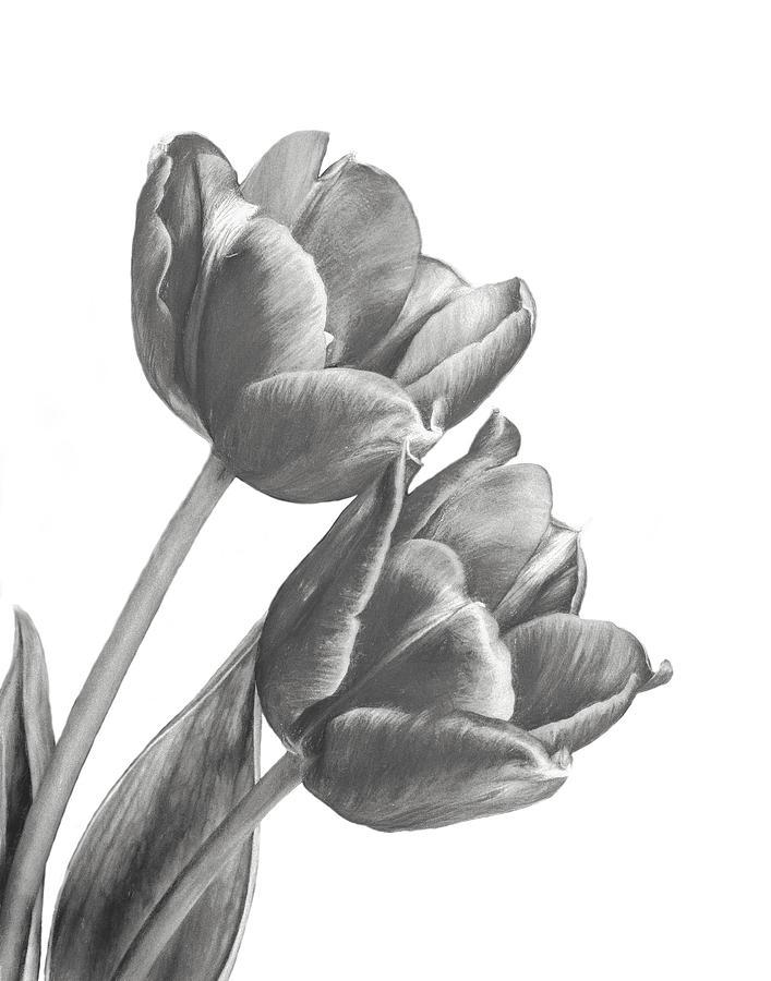 tulip sketch photograph by david and carol kelly