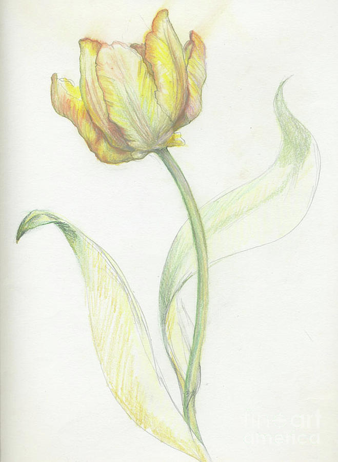 tulip sketch drawing by meridith martens