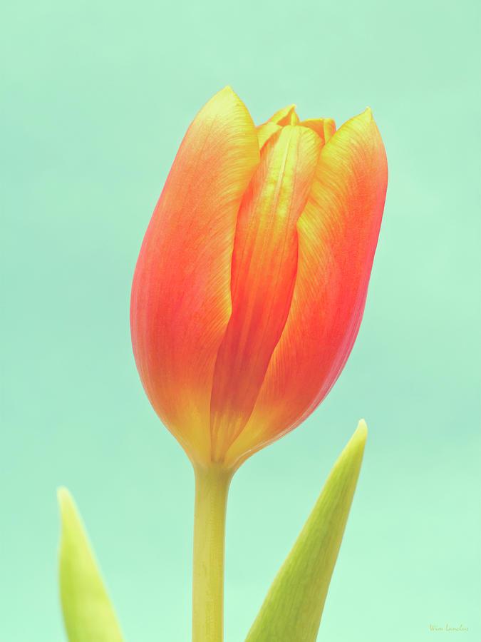 Simplicity Photograph - Tulip by Wim Lanclus