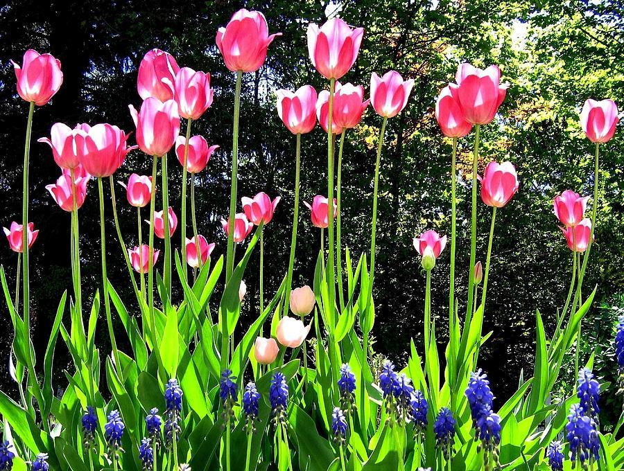 Tulipfest 10 Photograph