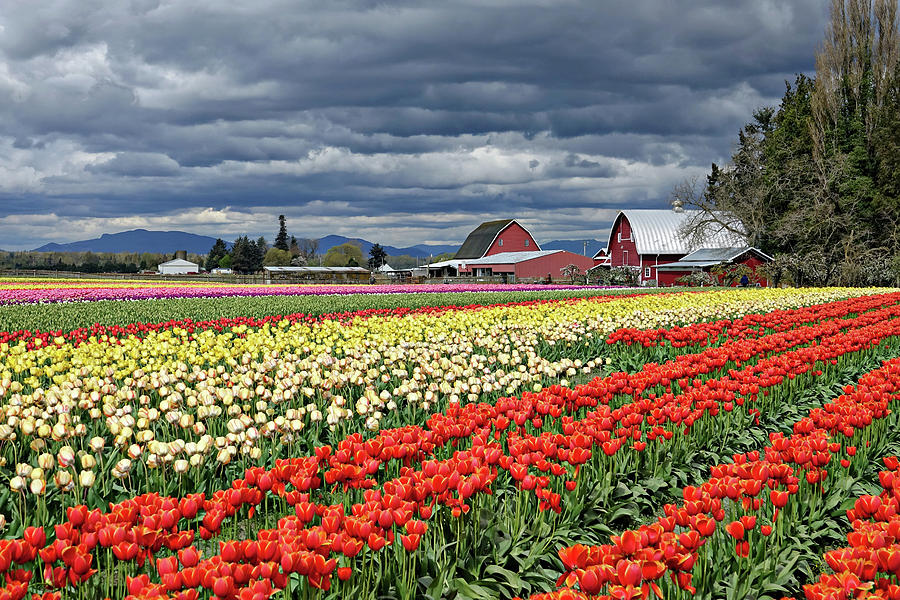 Tulips Photograph - Tulips And Barn by Rick Lawler
