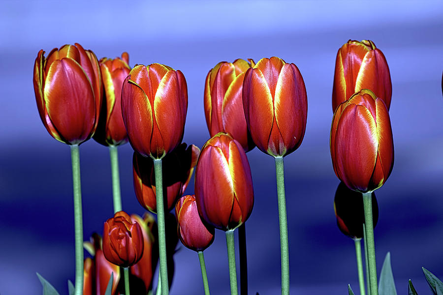Tulips at Attention by Sheldon Bilsker