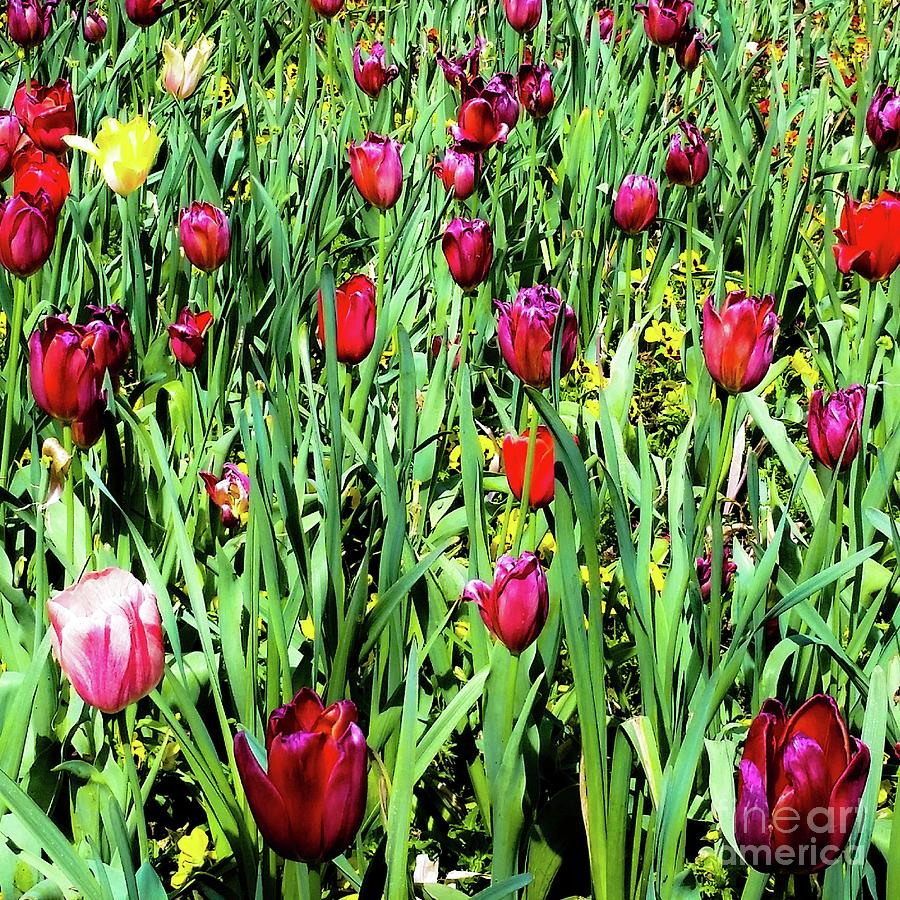 Tulips Photograph - Tulips Blooming by D Davila