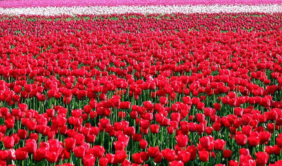 Tulips Photograph - Tulips By The Million by Will Borden