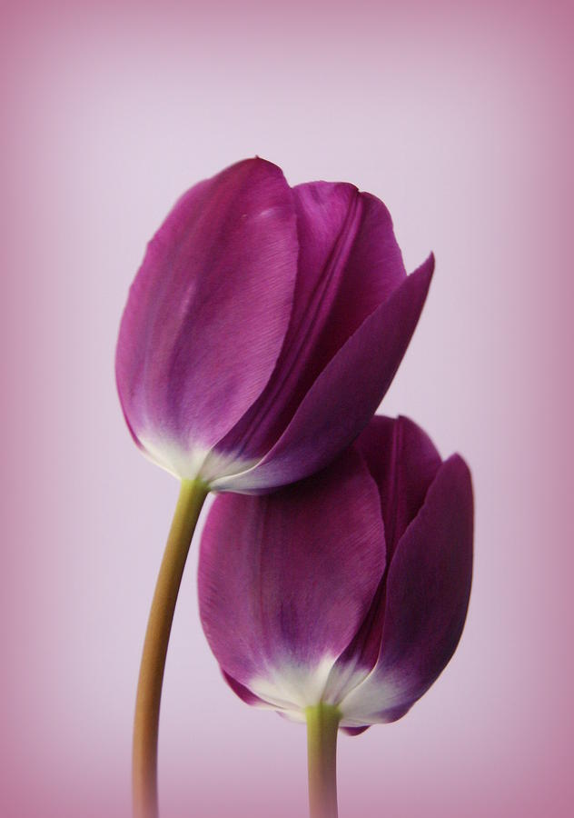 Tulip Photograph - Tulips by Diane Reed